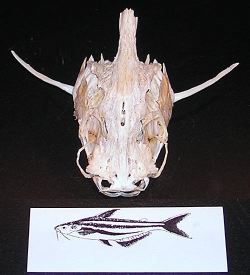 Pangasovití - pangasiidae
