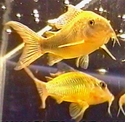 Sailfin Corydoras : ... smaragdov? pance?n??ek skv?l? emerald catfish sailfin corydoras