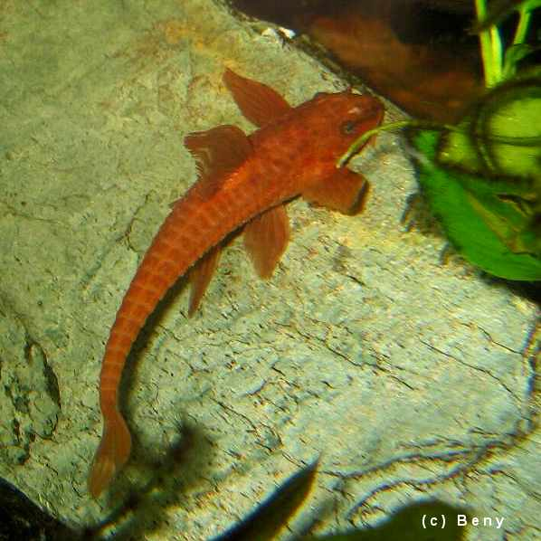 Red Lizard Catfish Whiptail Pictures