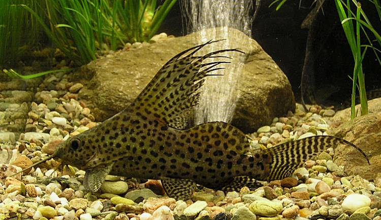 412853490820242641 together with Cichlids neotropical more together with Loscar Astronotus Ocellatus Un Attachant Poisson Chien Deau Douce additionally Discus Fish likewise Tag Vente Poisson Aquarium Eau De Mer. on oscar cichlids for sale