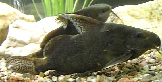 Aquarium Small Fishes, Lace catfish (Synodontis nigrita)